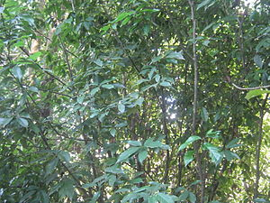 Quercus lamellosa - Quercus lamellosa in the jungle of Panchkhal VDC, Nepal