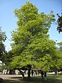 Quercus palustris 1 (nautical2k).jpg