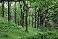 Quercus petraea forest1.jpg