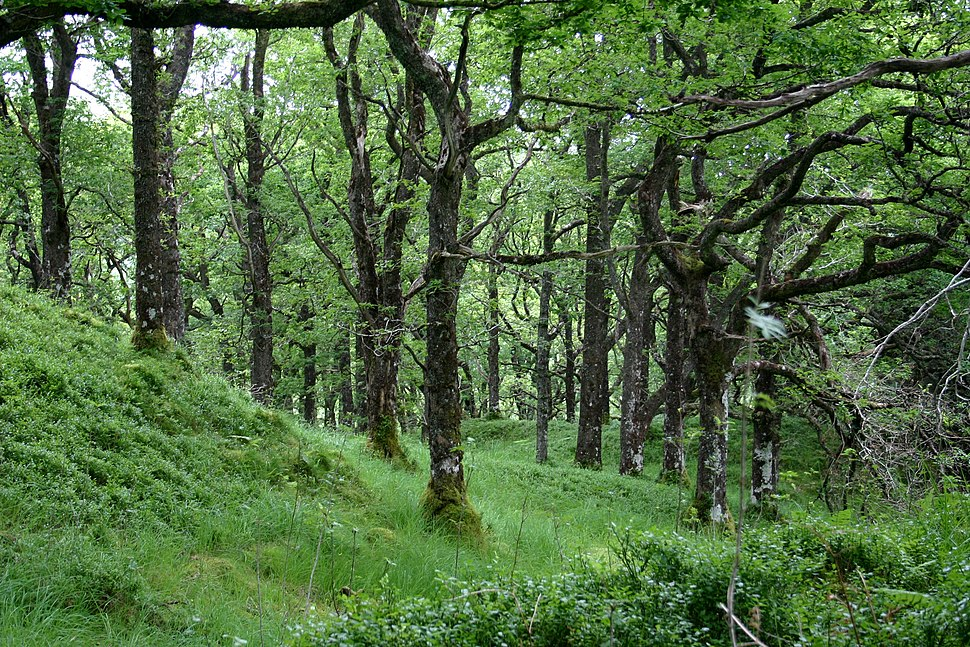 Quercus petraea forest1