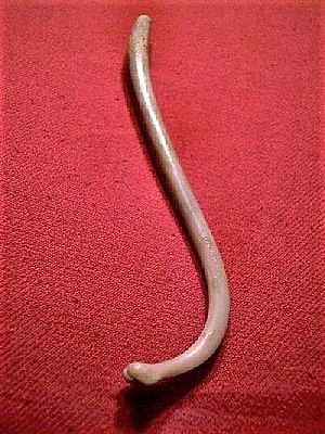 A raccoon penis bone. The baculum of a raccoon.