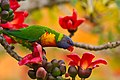 Rainbow Lorikeet with Red Silk Cotton Flowers - AndrewMercer IMG41962.jpg
