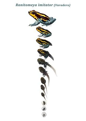 Poison dart frog - Ranitomeya imitators developmental life stages.