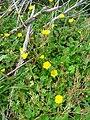 Ranunculus Habitat.JPG