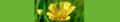 Ranunculus acris. Reader.png
