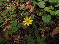 Ranunculus ficaria L. Ledinjak, zlatica.jpg