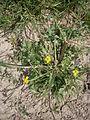 Ranunculus sardous 001.JPG