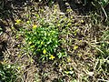 Ranunculus sardous subsp. sardous sl2.jpg