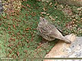 Red-fronted Rosefinch (Carpodacus puniceus) (35007685484).jpg