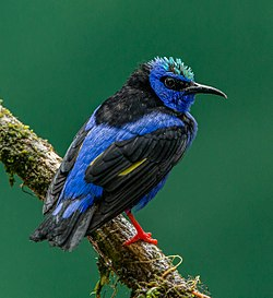 Red-legged Honeycreeper (Cyanerpes cyaneus) in Costa Rica.jpg