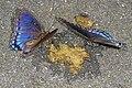 Red-spotted Purples - Limenitis arthemis, poop, and flies (36735317836).jpg