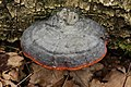 Red Belt Conk - Fomitopsis pinicola (26645704897).jpg