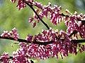 Red Bud Flowers - Flickr - treegrow.jpg