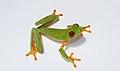 Red Eyed Treefrog Agalychnis callidryas.jpg