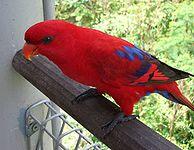 Red Lory (Eos bornea) Jurong Bird Park2-3c.jpg