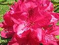 Red Rhododenddron (9102301097).jpg