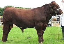 Red Shorthorn Bull IMG 0077.jpg