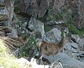Red deer - geograph.org.uk - 998937.jpg