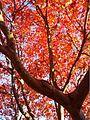 Red leaves at University of Washington Botanical Gardens.jpg
