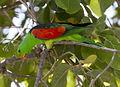 Red shouldered parrot.jpg