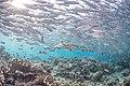 Reef shark beneath a school of jack fish.jpg
