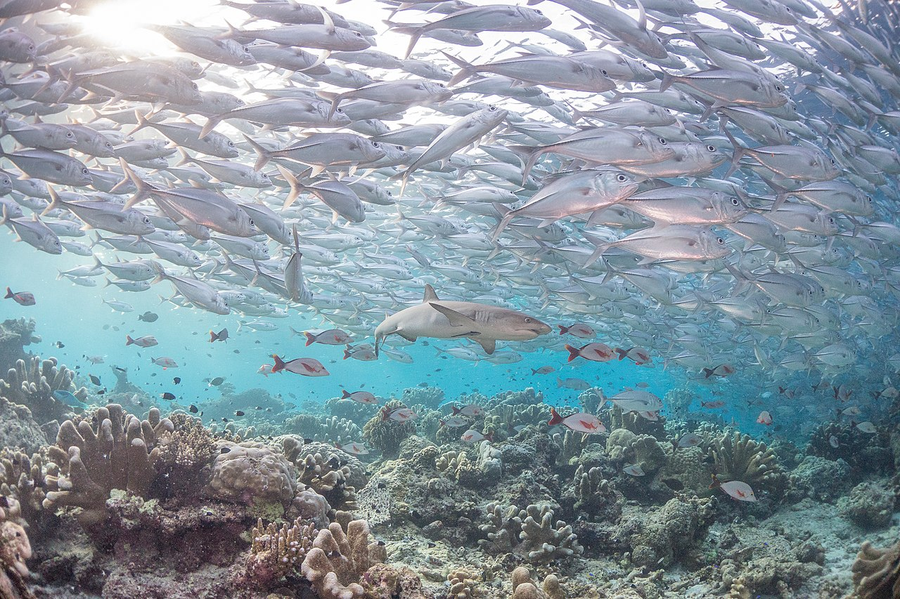 File reef shark beneath a school of jack for The fishing school
