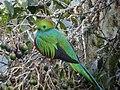 Resplendent Quetzal, Mirador de Quetzales, Costa Rica.jpg