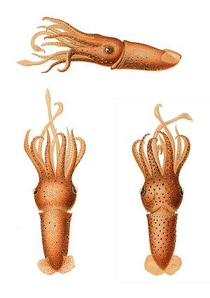 Squid - Histioteuthis reversa