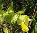 Rhinanthus angustifolius.jpeg