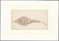 Rhinobatis spec. - onderaanzicht - 1769 - Print - Iconographia Zoologica - Special Collections University of Amsterdam - UBA01 IZAA100055.tif