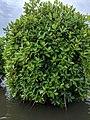 Rhizophora mucronata 36.jpg