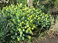 Rhodiola rosea (14101123876).jpg
