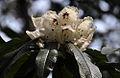 Rhododendron (8657307957).jpg