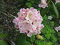 Rhododendron brachycarpum 05.jpg