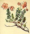 Rhododendron chamaecistus Atlas Alpenflora.jpg