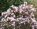 Rhododendron racemosum 1.jpg
