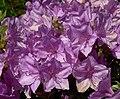 Rhododendron yedoense var poukhanense 2.jpg