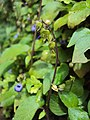 Rhynchoglossum obliquum 07.JPG