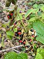 Rhynchosia phaseoloides (Sw.) DC. - Flickr - Alex Popovkin, Bahia, Brazil (14).jpg