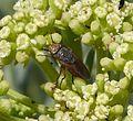 Rhyncomya columbina. Rhiniidae. Calliphoridae - Flickr - gailhampshire (1).jpg