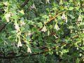Ribes cereum (26664386765).jpg