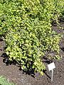 Ribes ussuriense - Botanical Garden in Kaisaniemi, Helsinki - DSC03498.JPG