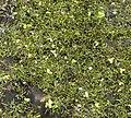 Riccia fluitans 120108.jpg