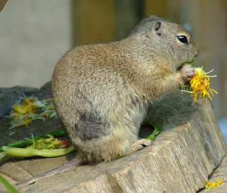 Richardson's ground squirrel - Eating a dandelion