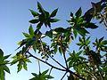 Ricinus communis, leaves.jpg