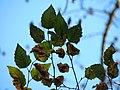 River Birch (30626009080).jpg