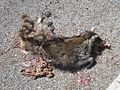 Roadkill Raccoon 2012-03-23.jpg