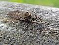 Robber fly, Machimus atricapillus (20621355730).jpg