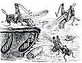 Rocky Mountain Locust oviposition.jpg