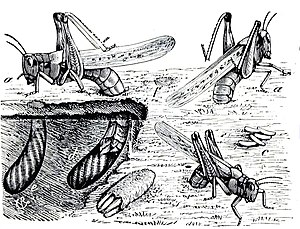 Rocky Mountain locust - Illustration of egg-laying females from 1877